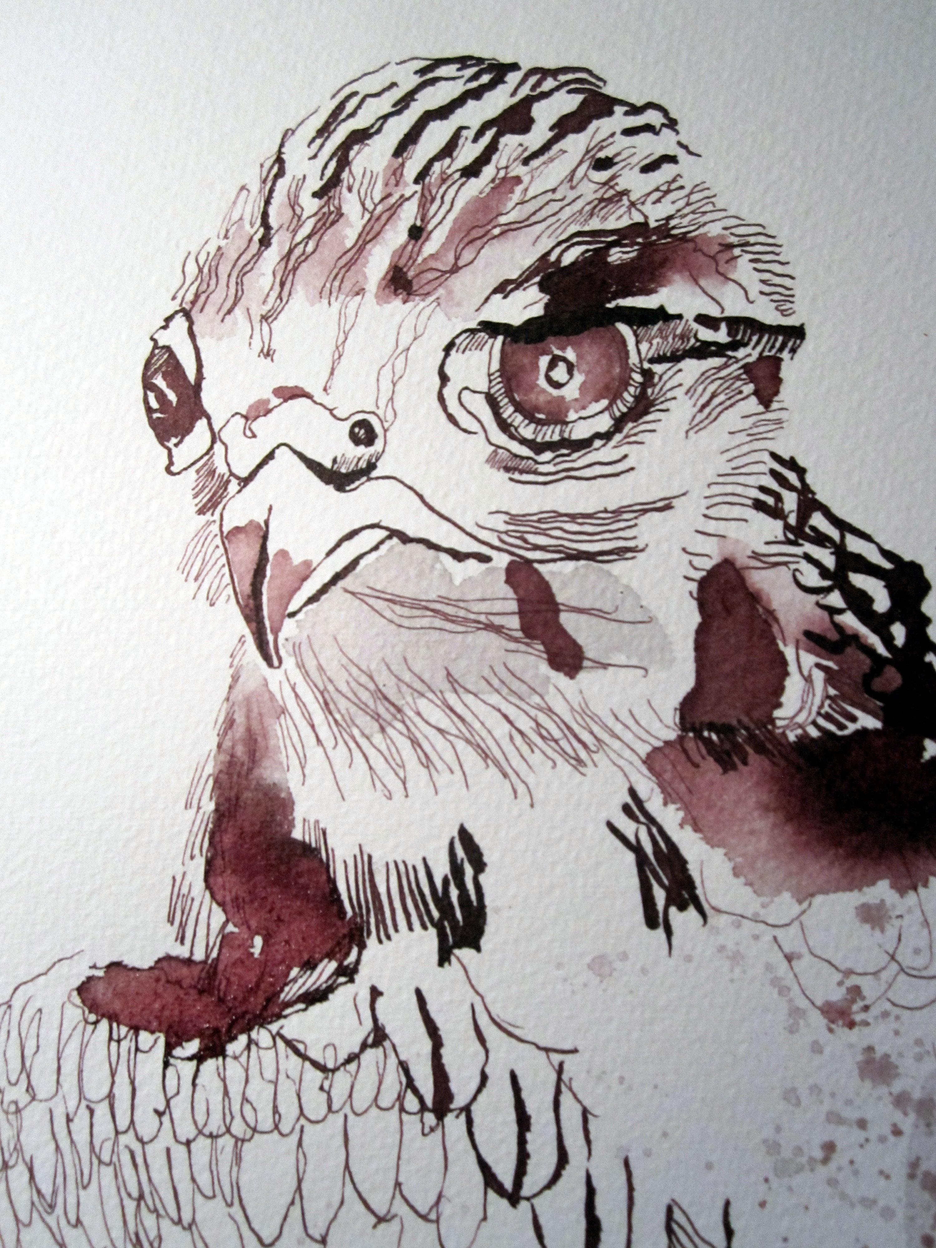 Kopf des Falkens - Zeichnung von Susanne Haun