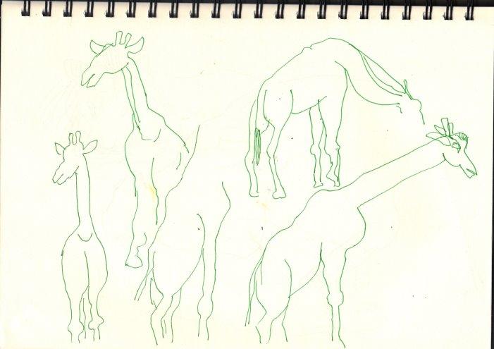 Giraffen (c) Skizze von Susanne Haun