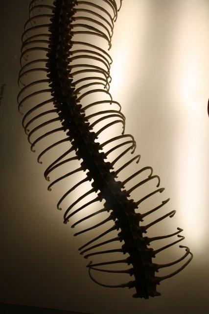 Skelett von einem Seeall (c) Foto von Susanne Haun