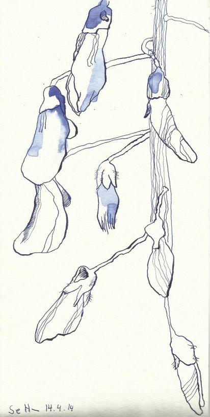 Glyzinien Version 3 (c) Zeichnung von Susanne Haun