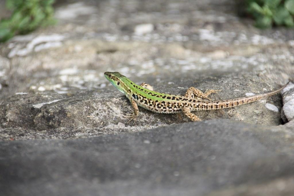 Geckos mögen die Toskana (c) Foto von Susanne Haun