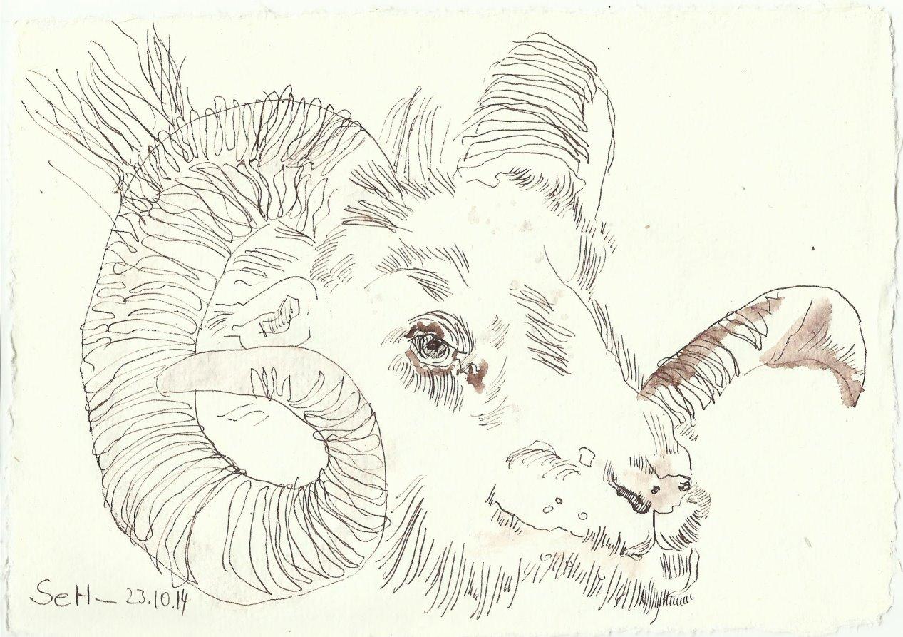 Widder (c) Zeichnung von  Susanne Haun klein