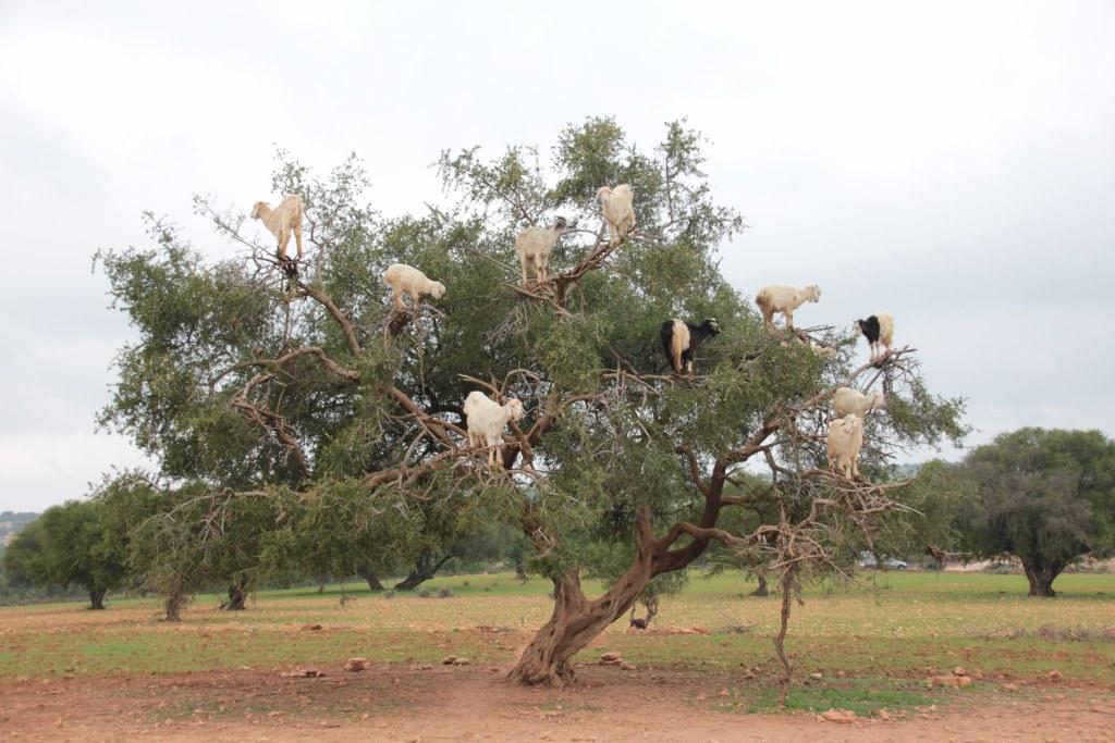 Der Arganbaum mit Ziegen (c) Foto von Susanne Haun