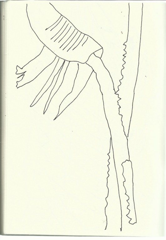 Pflanzenwelt Marokkos (c) Zeichnung von Susanne Haun
