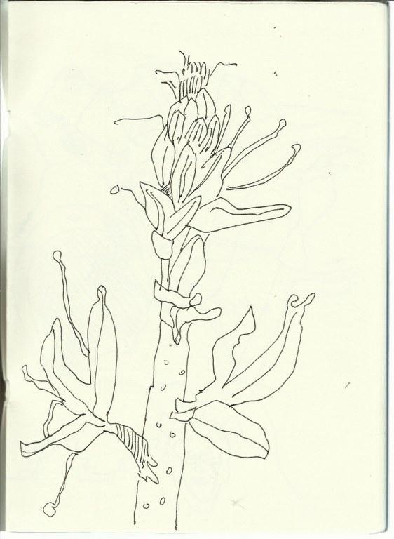 Blume in Marokko (c) Zeichnung von Susanne Haun