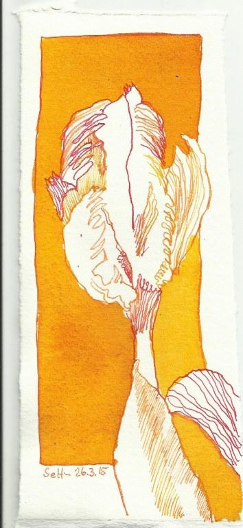 Gelbe Tulpe (c) Zeichnung von Susanne Haun 0002