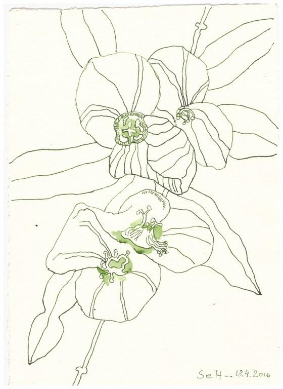 11 Weihnachtsangebot - Ewige Blume (c) Zeichnung von Susanne Haun