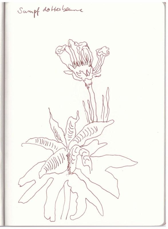Sumpfdotterblume (c) Zeichnung von Susanne Haun