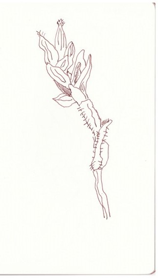 Teichpflanze (c) Zeichnung von Susanne Haun