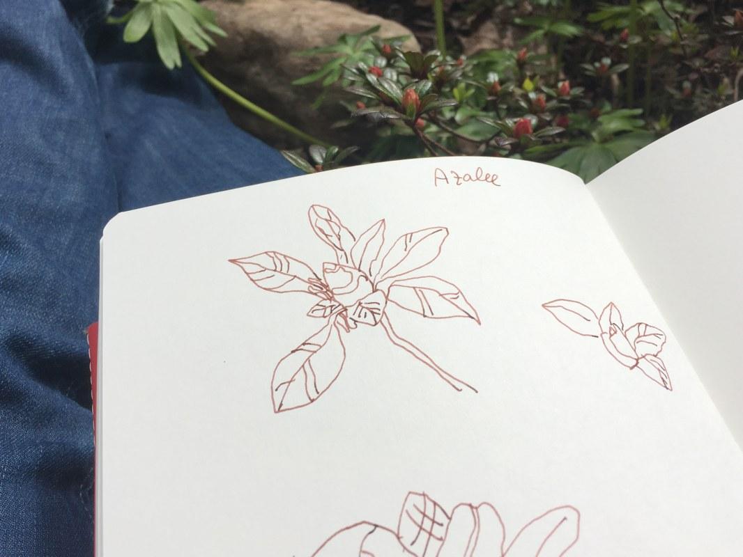 Azalee (c) Zeichnung und Foto von Susanne Haun