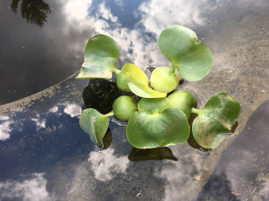 Wasserhyazinthe (c) Foto von Susanne Haun