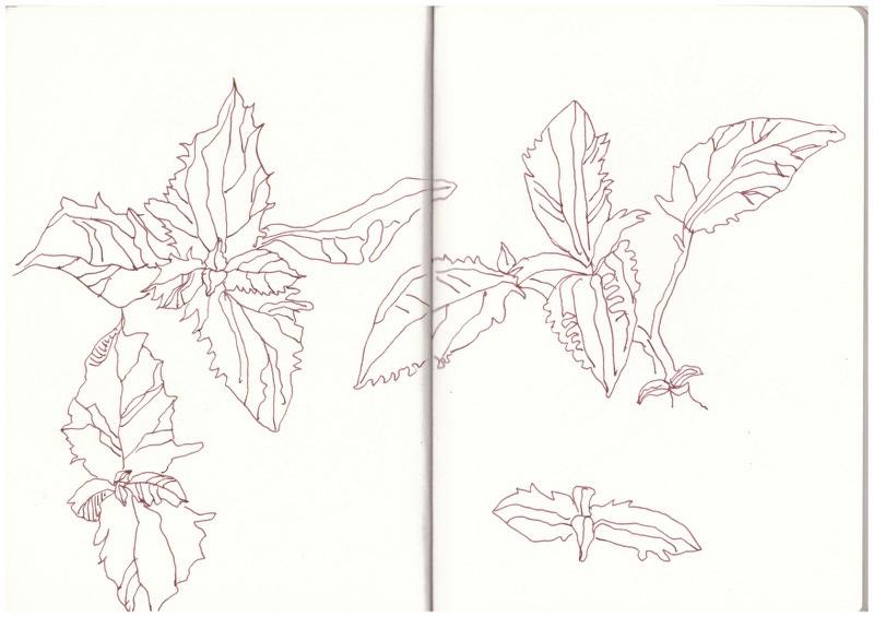 Teichpflanzen (c) Zeichnung von Susanne Haun