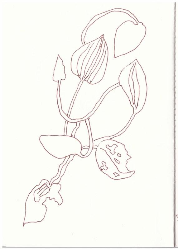 Sizilien - Seerosen (c) Zeichnung von Susanne Haun