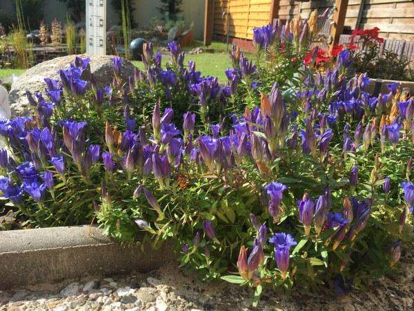 Enzian im Garten meiner Eltern (c) Foto von Susanne Haun