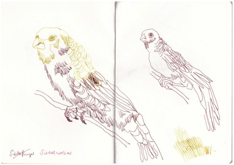 Siedelweber (c) Zeichnung von Susanne Haun