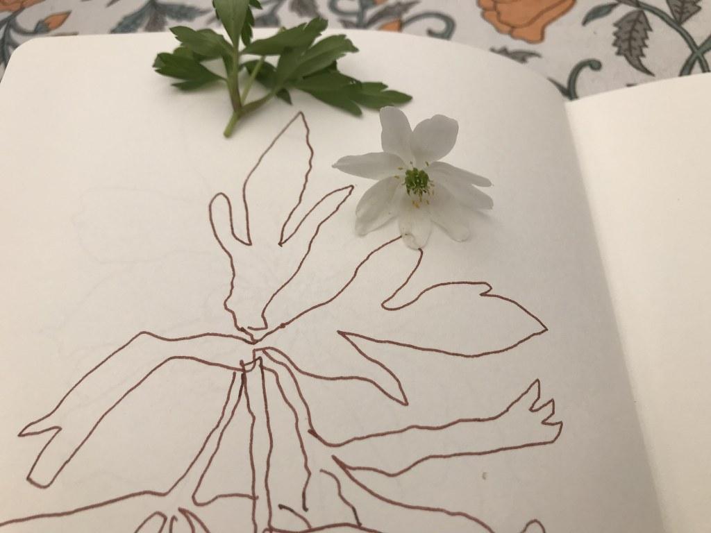Edelweiss oder Anemone (c) Zeichnung von Susanne Haun