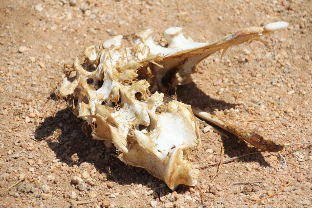 Teile eines von einem Löwen geschlagenen Tiers (c) Foto von Susanne Haun