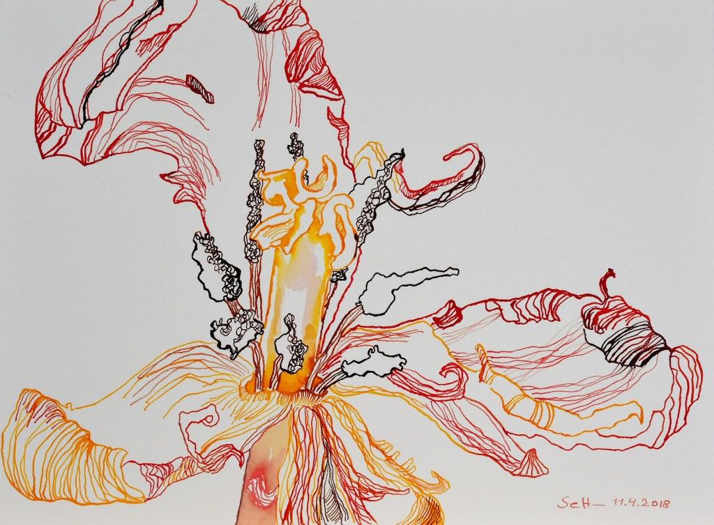 Das Innere der Tulpe - 23 x 31 cm - Tusche auf Burgung Hahnemuehle Aquarellkarton (c) Zeichnung von Susanne Haun