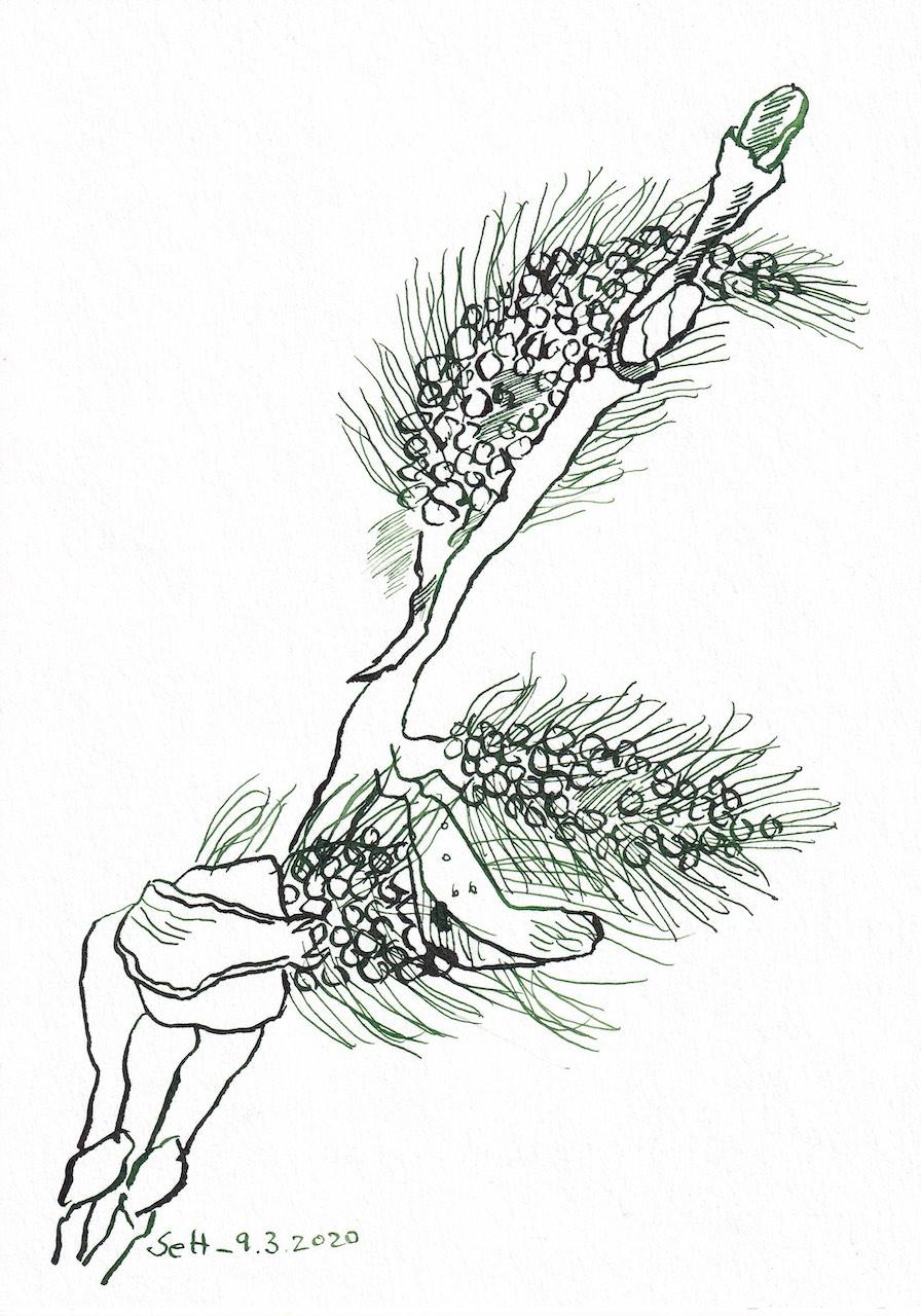 Zweig, 17 x 24 cm, Tusche auf Aquarellkarton, Zeichnung von Susanne Haun (c) VG Bild-Kunst, Bonn 2020